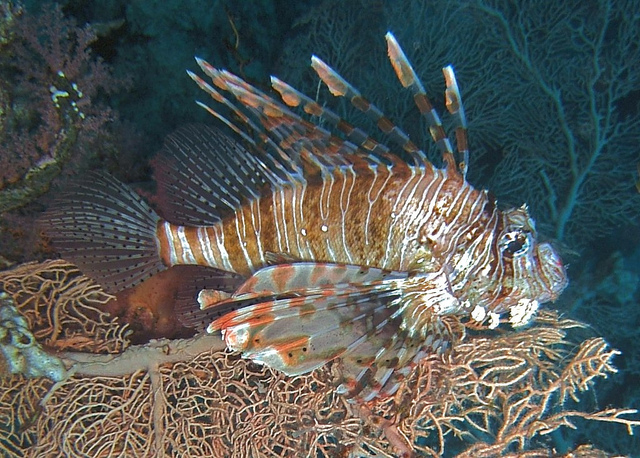 Save the sea, eat a lionfish / Boing Boing