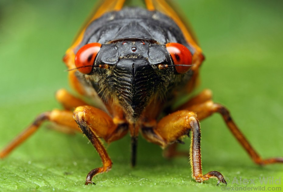 """The red compound eyes of this cicada identify it as a Magicicada periodical cicada. Allerton Park, Illinois, USA"""
