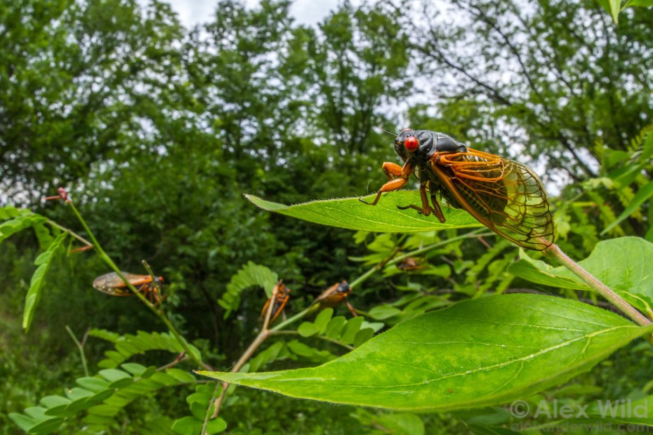 "Alex Wild: ""Brood III periodical cicadas during the 2014 emergence. Panther Creek State Conservation Area, Illinois, USA."""
