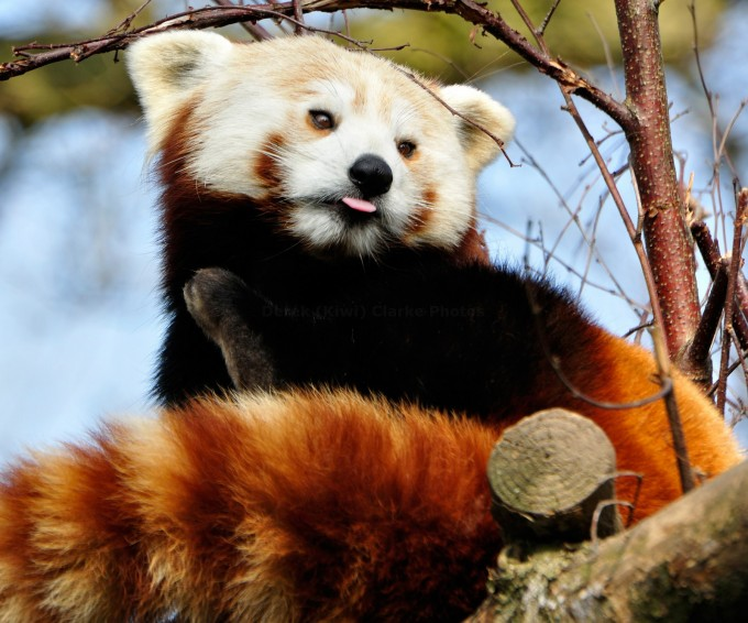 Red Panda With His Tongue Out A Photo From The Boing