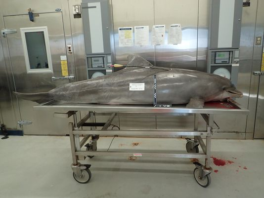 Dolphin found washed up on Orange Beach after being shot by an arrow is the second dolphin to be killed violently by humans in the past two weeks. Photo: NOAA.