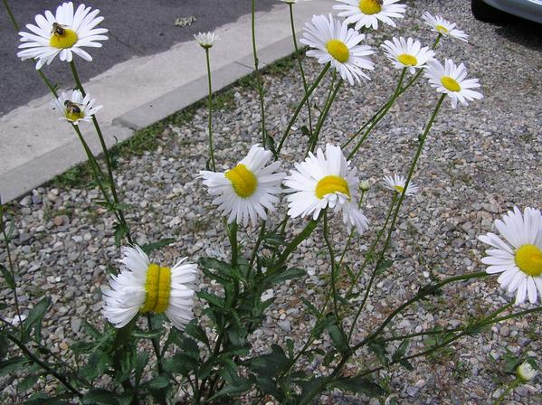 Deformed mutant daisies photographed near fukushima for Xeni jardin 2015