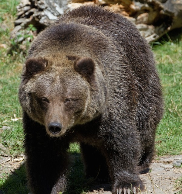 Grizzly_Bear_8_(8067483073)