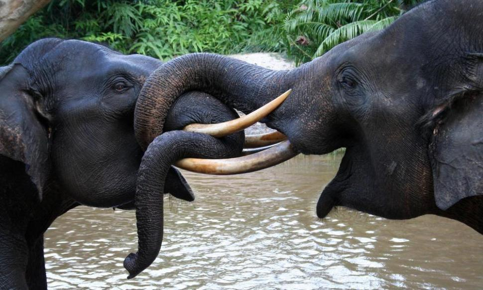 Sumatran elephants (Elephas maximus sumatrensis) playing in Tesso Nilo National Park, Riau, Indonesia. Both are members of Flying Squad Elephant Patrol. These elephants are deployed to minimize conflict between human and wild elephants in the outskirt of Tesso Nilo NP. [WWF]