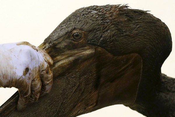 A brown pelican being cleaned of oil by a bird rescue volunteer on May 22, 2015, after thousands of gallons of oil leaked on to San Refugio State Beach and into the Pacific. REUTERS