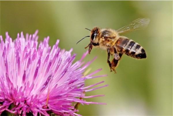 Honeybee_landing_on_milkthistle02-1