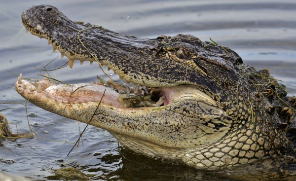 american_alligator_eating_crab