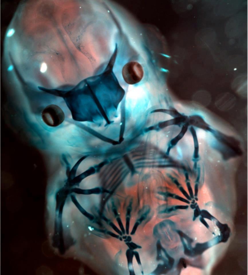 bat-embryo-dyed-02
