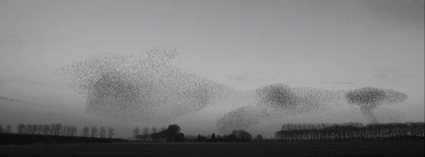 starlings--ijken-01