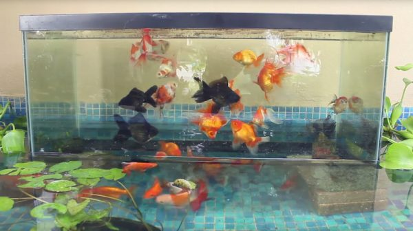 If Youu0027re Wondering How To Do This, Hereu0027s A Classic How To Video On  Creating One In An Outdoor Koi Pond. The Effect Is Even More Impressive In  The Brackish ...