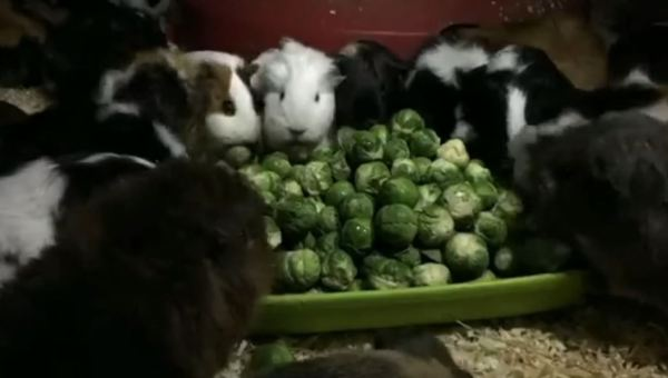 Guinea pigs devour Brussels sprouts
