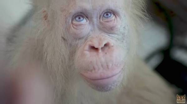 Albino orangutan will share her own forest island with two friends