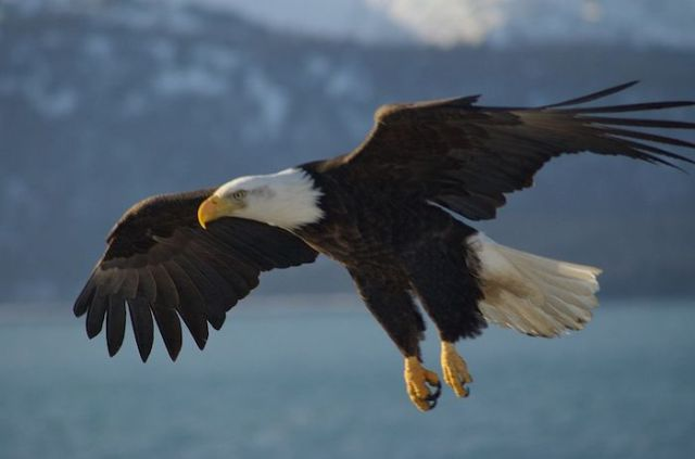 Bald eagles are taking trash from a Seattle landfill and dumping it into suburban yards