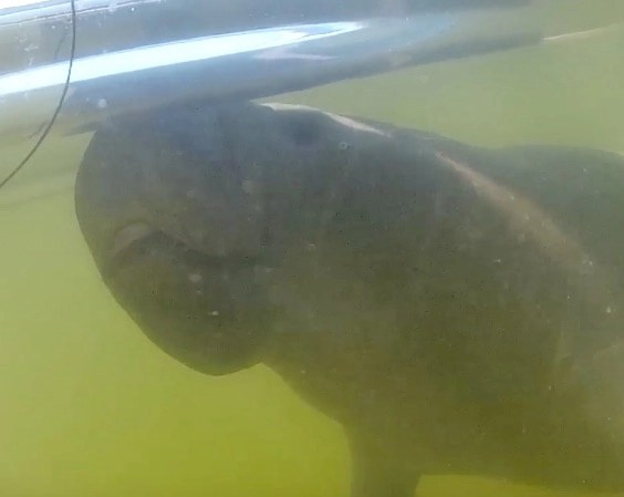 Curious manatee gets very friendly with human in canoe