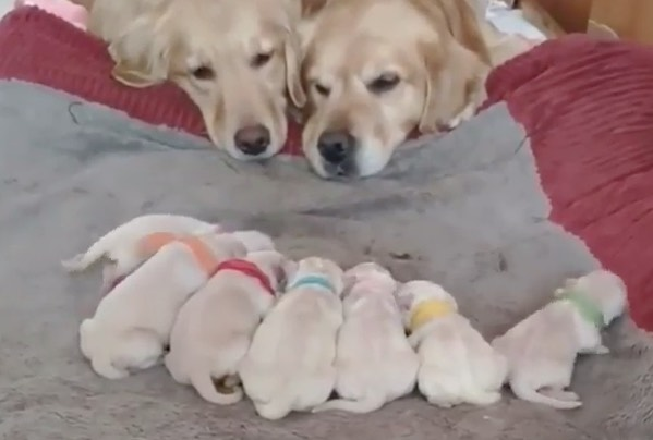 Happy golden retriever family and their pile of puppies