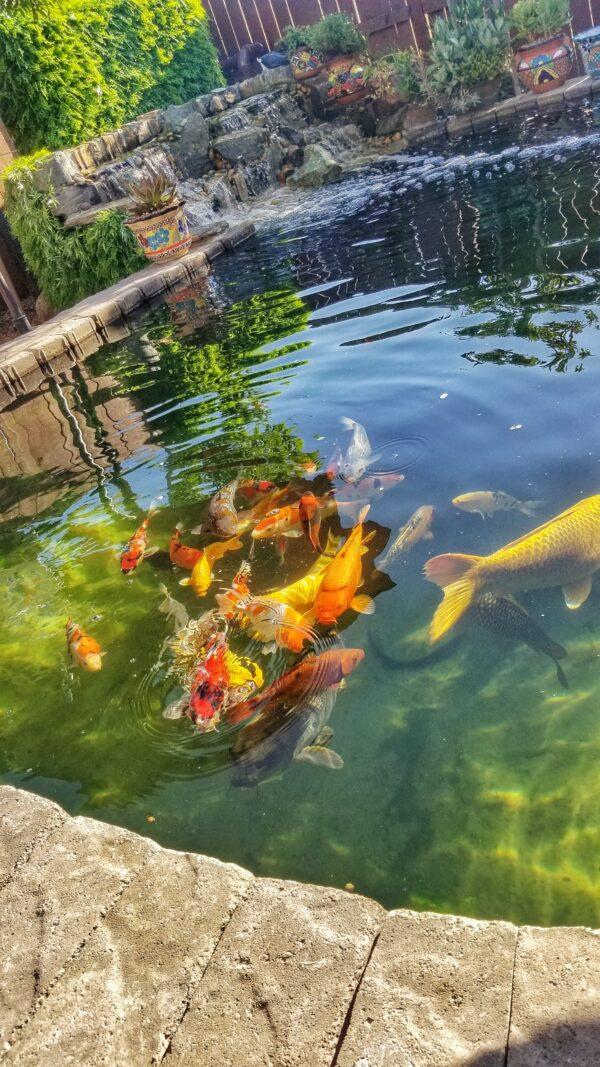 39 how i built a 4 000 gallon koi pond 39 diy fishpond for Koi pond videos