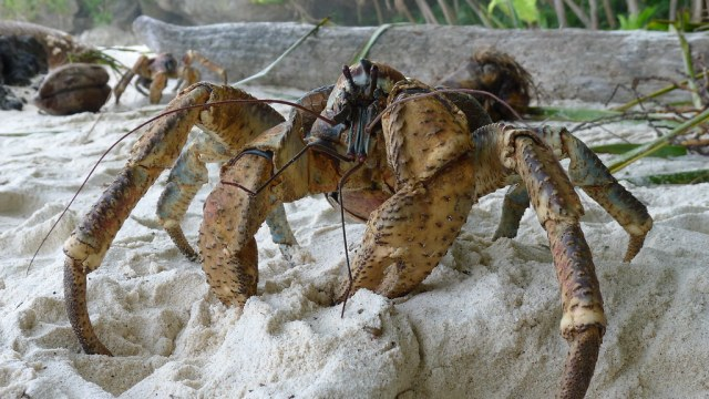 How coconut crabs may have absconded with Amelia Earhart's skeleton