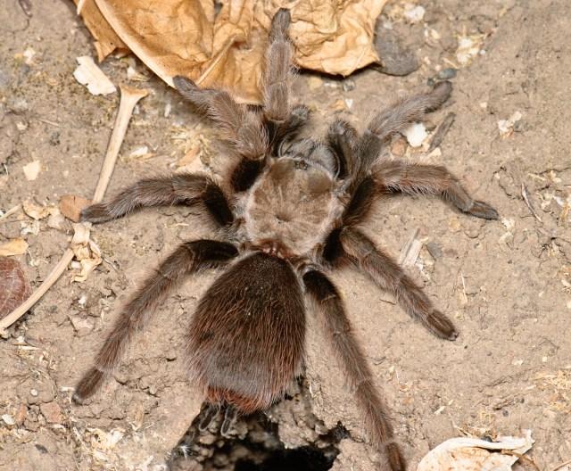 Mating season for Bay Area tarantulas just got longer
