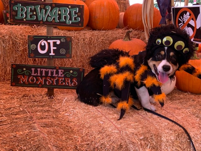 Halloween: Corgi in a spider costume at a pumpkin patch