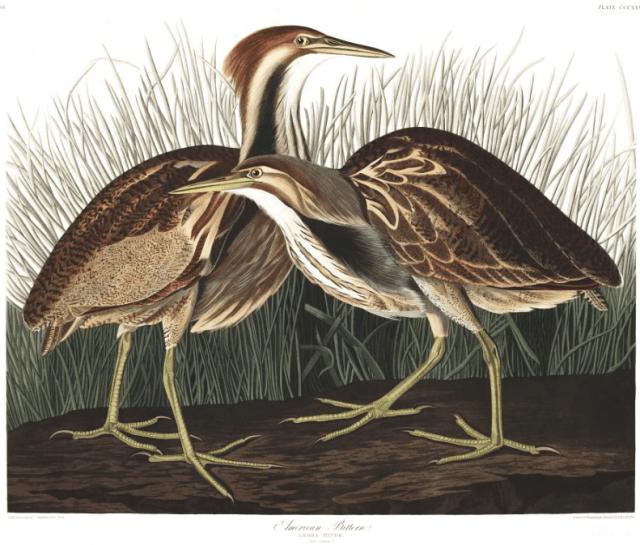 Download hi-rez scans of all 435 illustrations from John James Audubon's Birds of America