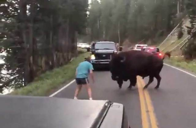 Gentleman picks a fight with an American Bison