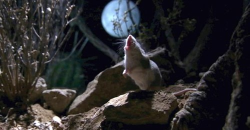 "Meet the ""werewolf mouse"" who hunts scorpions and deadly centipedes and howls at the moon"