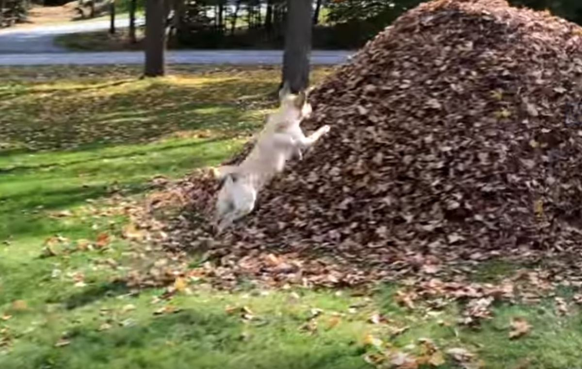 Dog enjoys leaping into large pile of leaves