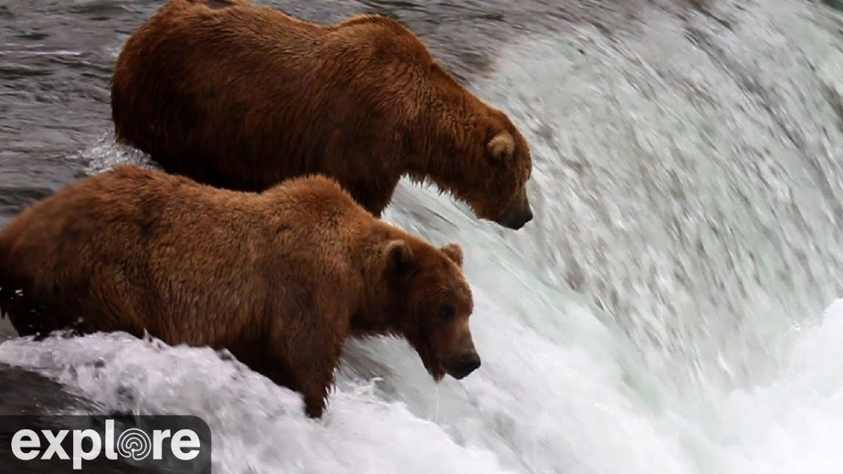 It's time to watch that Alaska bear cam again — salmon are jumping!