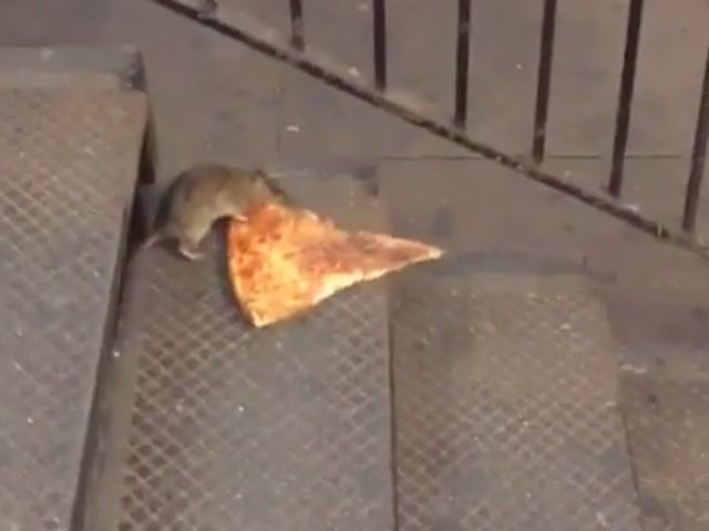 'Pizza Rat' Enchants Social Media