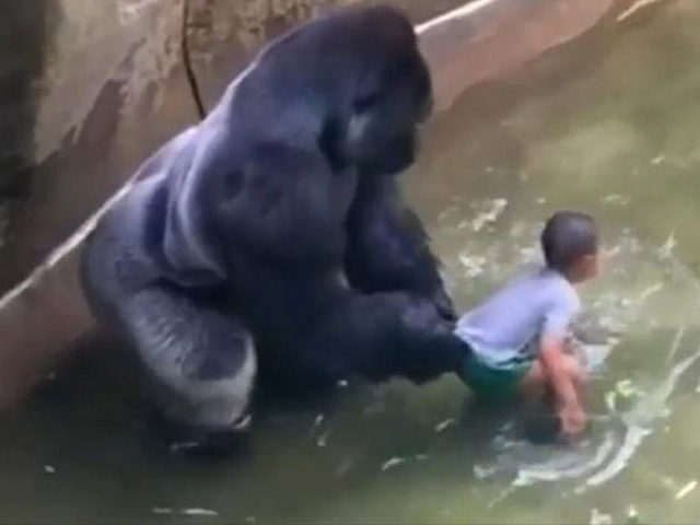 No Charges for Mother in Harambe the Gorillas Death