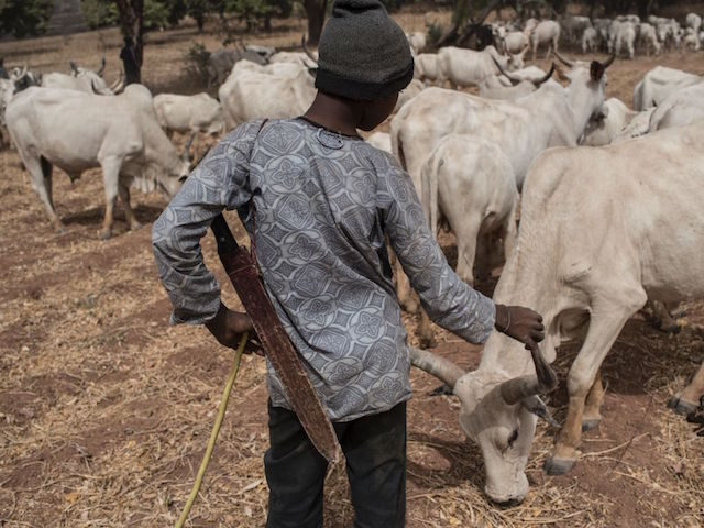 A Fulani herding boy interacts with a cow in a field outside Kaduna, northwest Nigeria, on February 22, 2017.