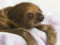 This Dec. 8, 2017, photo provided by the National Aviary shows a female Linnaeus' two-toed sloth born Aug. 21, 2017, named Vivien after