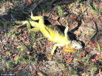 Global Warming, Iguana
