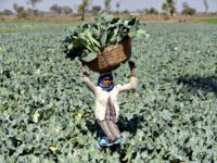 ndian farmer Gomtiben lifts a basket loaded with cauliflowers in a field in Rasalpur village, India, on Jan. 26, 2016. According to a new study, food scarcity due to climate change will most effect populations in India and China.