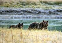 Conservationists have challenged the federal government's contention that the grizzly population around Yellowstone is stable