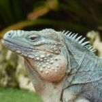 Blue iguana killed at Botanic Park by dog