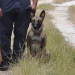 Escaped police dog tracked down