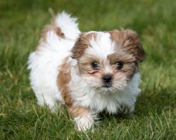 Rescued Shih Tzus Wont Be Put Down Says Doa Cayman Islands