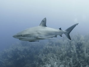 Seven sharks killed or injured in local waters - Cayman