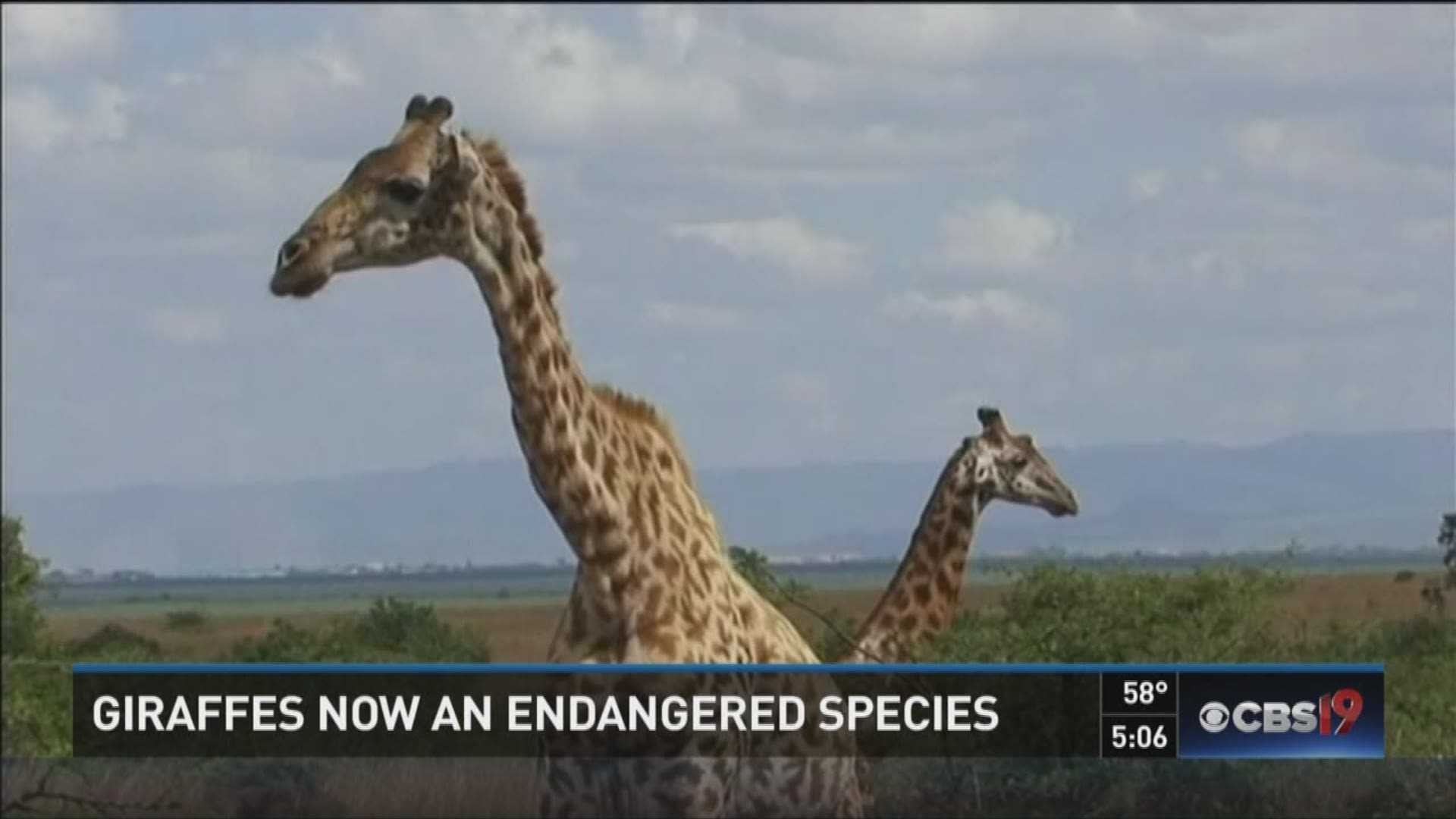 Caldwell Zoo helping to save giraffes from extinction | cbs19.tv