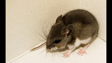 Three mice in San Diego County test positive for Hantavirus | cbs8.com