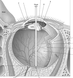 question figure 17 1 the sectional anatomy of the eye use figure 17 1 to answer the following question s 29 identify the structure labeled 10  [ 1024 x 964 Pixel ]