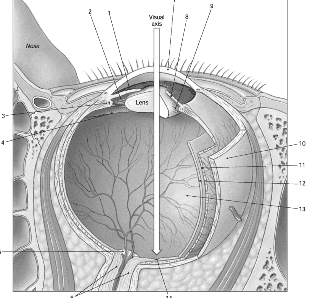 hight resolution of question figure 17 1 the sectional anatomy of the eye use figure 17 1 to answer the following question s 29 identify the structure labeled 10