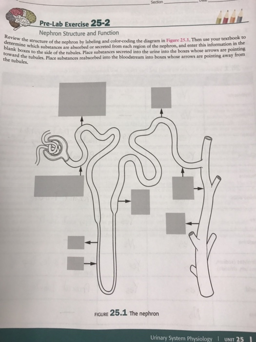 nephron diagram from a textbook 1997 dodge dakota radio wiring solved structure and function review the structur question of by labeling color coding
