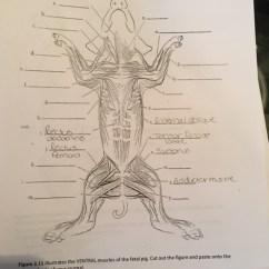 External Fetal Pig Muscle Diagram 2006 Subaru Impreza Wrx Radio Wiring C Ous Atae M Figure 3 11 Illustrates The Ven Chegg Com Ventral Muscles Of