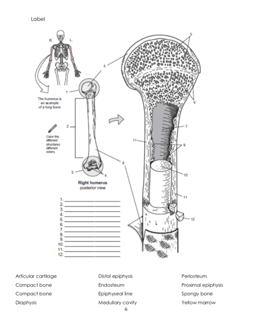 small resolution of label the humerus is an ample of a long bone right humerus 2 3