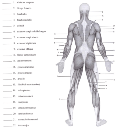 identify each of the lettered muscles in this diagram of the human posterior superficial musculature by [ 839 x 1024 Pixel ]