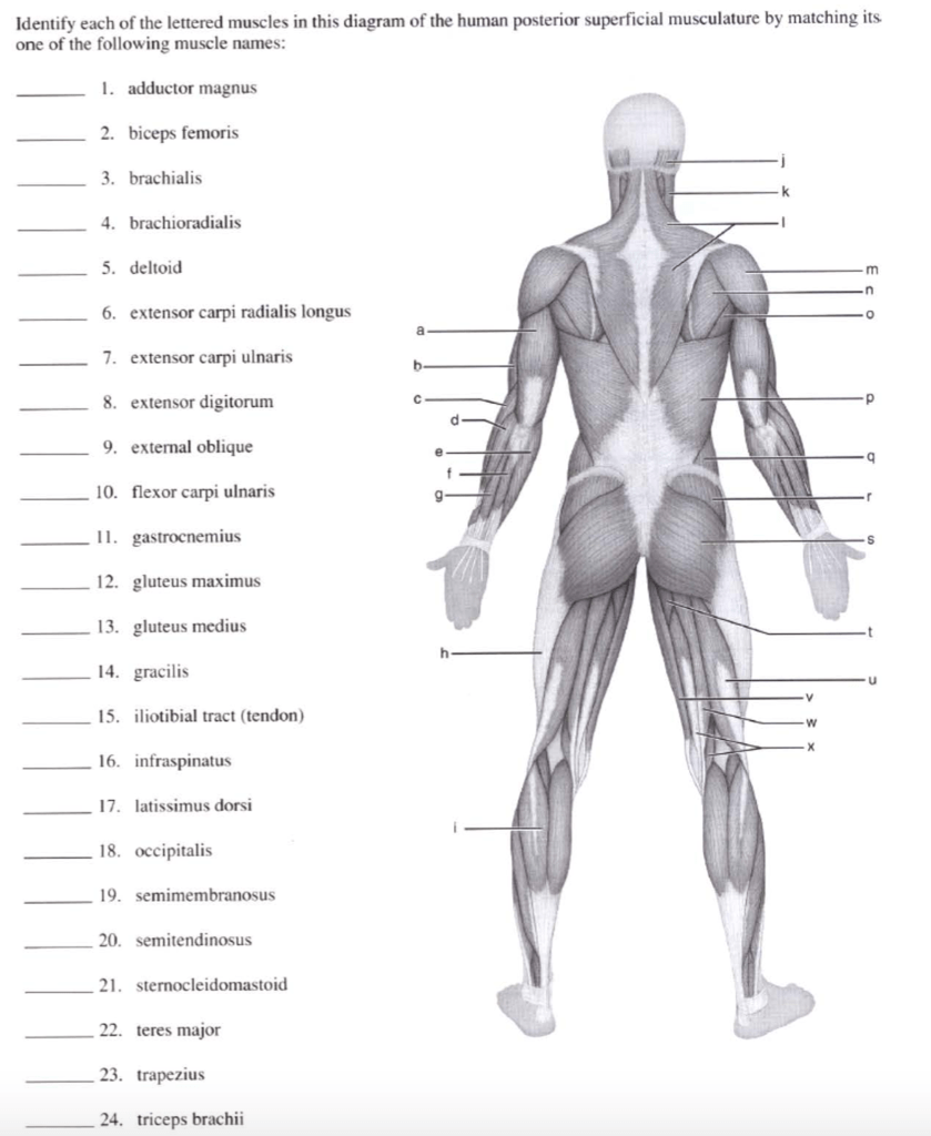 hight resolution of identify each of the lettered muscles in this diagram of the human posterior superficial musculature by
