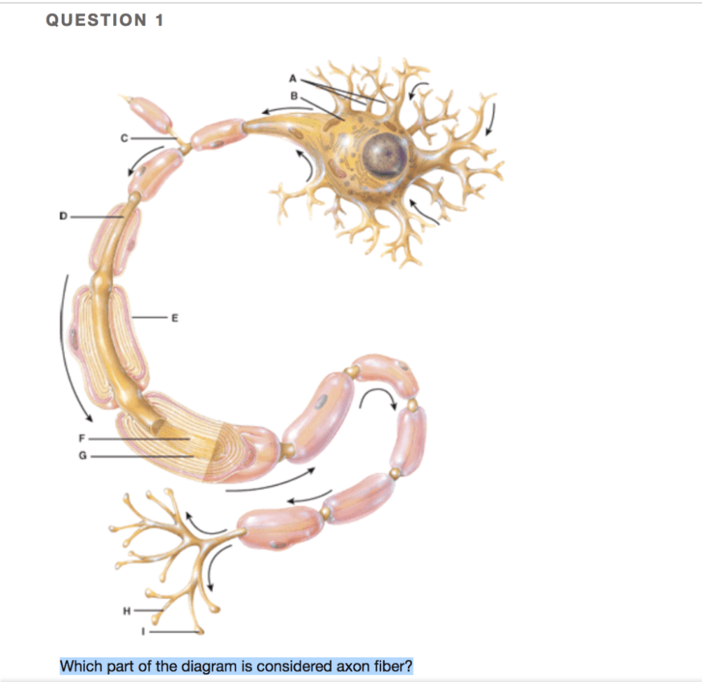 medium resolution of question 1 which part of the diagram is considered axon fiber