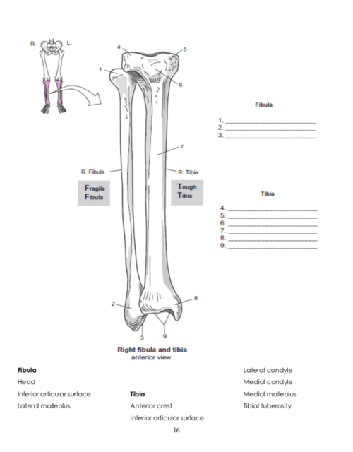 small resolution of 5 fibula 2 7 r fibula r tibia tough fragile fibula tibia 9